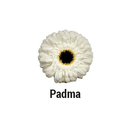Padma
